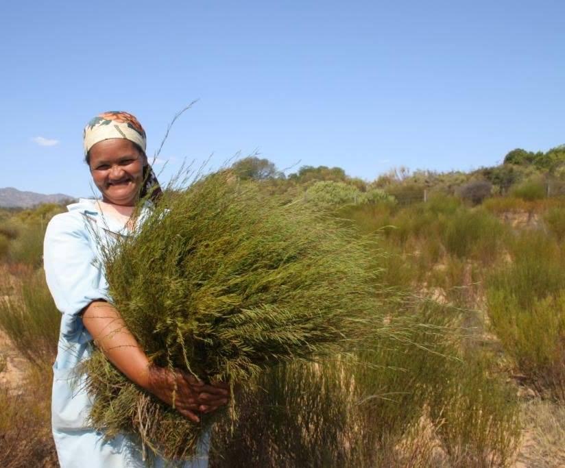 Cultivo de rooibos en Cedarberg, Sudáfrica.